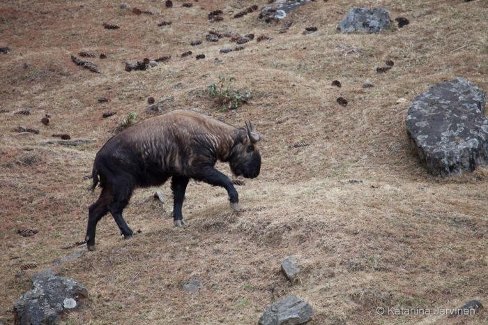 Takin_in_Bhutan